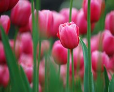 All about tulips and their care, including their history. I LOVE tulips!