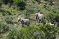 Семейство слонов в Africa Karoo Hunting