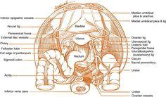 female pelvic cavity