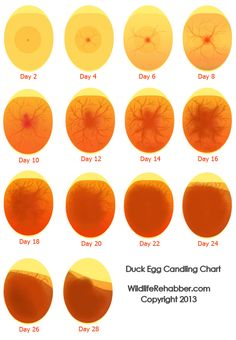 egg candling chart--- how your fertile eggs should look on what day!
