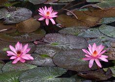 Travel and Landscape Photography Lotus Flowers, Landscape Photography, Vietnam, Plants, Travel, Lotus Blossoms, Viajes, Destinations, Traveling