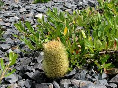Leathery green serrated leaves and large greenish yellow flowers and grey cones with a gnarly dark trunk. Cut Flowers, Yellow Flowers, Australian Native Garden, Dwarf, Native Plants, Nativity, Garden Design, Flora, Seasons