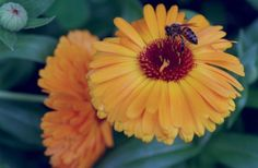 Honey bee on a calendula flower. Your garden will thank you for it, as will the birds and the bees. They need our help, too, to stay healthy and happy in our increasingly concrete society.