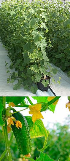 A way to grow cukes, melons, etc on a trellis instead of trailing on the ground.