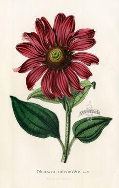 Echinacea Intermedia by Louis van Houtte Flore des Serres, 1858 Vintage Botanical Prints, Botanical Drawings, Antique Prints, Botanical Flowers, Botanical Art, Flower Prints, Flower Art, Nature Prints, Art Prints