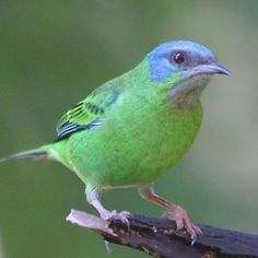 blue-dacnis-female  $275.00–$550.00    The Blue Dacnis or Turquoise Honeycreeper, Dacnis cayana, is a small passerine bird. This member of the tanager family is found from Nicaragua to Panama, on Trinidad, and in South America south to Bolivia and northern Argentina. It is widespread and often common, especially in parts of its South American range.