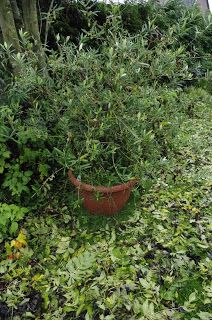 Mr. Greens Welt: Herbstlaub im Olivenbaum