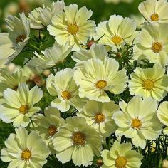 Xanthos Cosmos - Unanimously voted a 2016 Fleuroselect Gold Medal Winner! Due to an exciting breakthrough, cosmos are now available in a unique soft buttery yellow color. Xanthos quickly covers itself in 2 inch single flowers on uniformly compact, 24 Cosmos Plant, Cosmos Flowers, All Flowers, Yellow Flowers, Beautiful Flowers, Single Flowers, Sutton Seeds, European Garden, Seed Catalogs