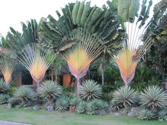This is the front of the garden from Kenya. This garden was the opposite of the last garden. Here the wow factor is the contrast between textures and colors of the plant material. The bold texture of the Travellers Palm( Ravanella madagascarensis) towering over the Yucca aloifolia 'Variegata' and Agave angustifolia 'Marginata' clustered amongst the boulders stops you in your tracks.