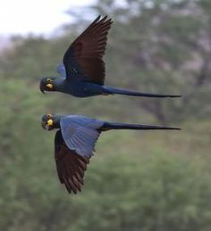 Lear's Macaws in flight.  By Andy and Gill Swash, UK.