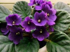 10 Tips for Caring for African Violets With their wonderfully shaped fuzzy leaves, their compact str Container Gardening, Violet Garden, Bloom, Orchids, Plants, Saintpaulia, African Violets, Beautiful Blooms, Flowers