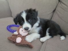 Our new baby girl - black and white border collie puppy <3 Loves her little monkey #trainpuppies #bordercollie