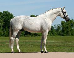 GK Calucci (Calido I - Acord II) 2001 Holsteiner Stallion #HTFstallions