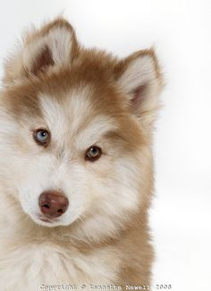 brown husky puppy - Google Search