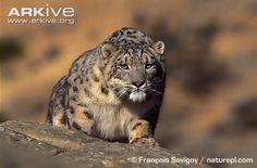 Wild snow leopard in stalking pose