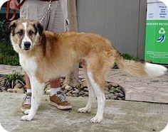 Lathrop, CA - Anatolian Shepherd Mix. Meet Tonka, a dog for adoption. http://www.adoptapet.com/pet/17567339-lathrop-california-anatolian-shepherd-mix