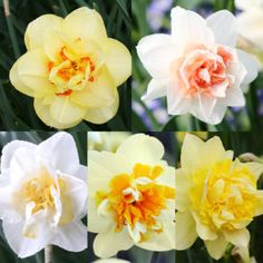 Double Daffodils Daffodils Planting, Planting Bulbs, Tulips, Daffodil Bulbs, Bulb Flowers, Yellow Cups, Deciduous Trees, Garden Beds, Trumpet