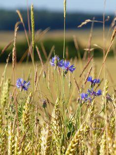 Cornflower - Les bleuets ®www.image-gratuite.com