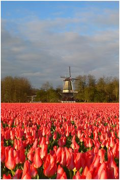 Tulips - Keukenhof, Netherlands Why Wait? #whywaittravels #traveldesigner 866-680-3211