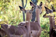Photos from safari in South Africa at Mthetomusha Game Reserve