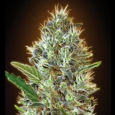 Advanced Seeds - Auto Somango feminized cannabis seeds - autoflowering marijuana strain with a flowering time around 60 days and THC levels at 15%