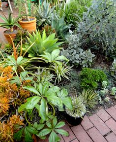 At front, with the glossy leaves, is Cussonia transvaalensis. The blueish leaves on the right (which I mistook for an acacia when asking Denise for help on ID's) is Eucalyptus 'Moon Lagoon' and the silvery kalanchoe next to it is K. hildebrantii. |danger garden: other people's gardens