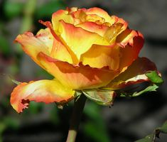 Tequila Sunrise Hybrid Tea Rose