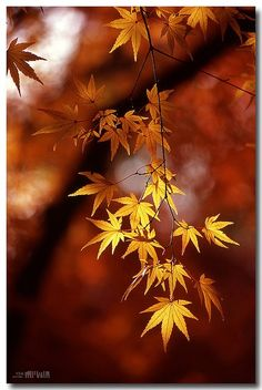 Golden beauty, fall, my favorite time of year.