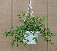 Goldfish Plant – 6.5″ Hanging Basket…