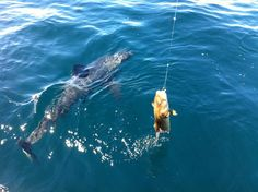 Sharks Spotted Stealing Anglers Fish Off The Yorkshire Coast Sea Anglers on The Yorkshire Coast are reporting an increase of Porbeagle shark sightings within the inshore waters. Earlier this summer (June Whitby charter boat anglers were Sea Angling, Shark Attacks, Angler Fish, Charter Boat, Close Encounters, Sea Fishing, Summer 2014, Yorkshire, Kayaking