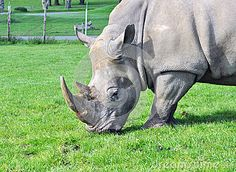 Rhino Feeding - Download From Over 48 Million High Quality Stock Photos, Images, Vectors. Sign up for FREE today. Image: 41505462