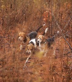 Photo Credit: Peter Taylor. The dogs run so close together that some say you could throw a single blanket over the whole pack.