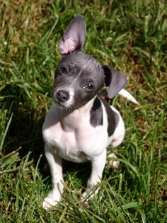 We have a rat terrier that looks similar to this one. Like all small dogs it won't stop barking