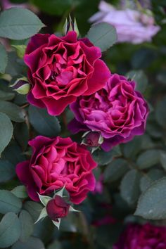 S Rosa Orientis「Odysseia」 KimuraTakunori, Damask+Fruit / Herbs Beautiful Flowers Images, Flower Images, Beautiful Roses, Pretty Flowers, Beautiful Gardens, Rose Diseases, Flower Garden Plans, Rose Trees, Rosa Rose