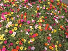 POTTED (edible) PLANTS FOR FRONT: How to Grow Portulaca From Seeds