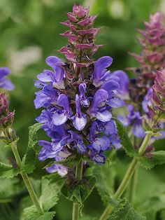 Bright blue salvia 'Blue Marvel' blooms from spring to fall.