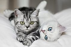 American Shorthair Silver Tabby | American Shorthair silver tabby cats | Cat Lovers