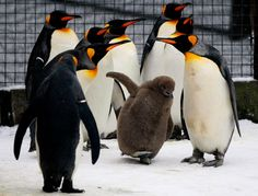A two month old king penguin chick walks on the frozen ice and snow in its enclosure at Edinburgh Zoo. via telegraph uk Hangin' with the big boys. Penguin Halloween Costume, Halloween Costumes 2014, Group Of Penguins, Baby Penguins, King Penguin, Penguin Love, Penguin Dance, Old King, Huge Dogs