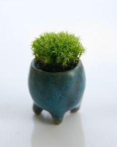 super mini bonsai / pot of monkey moss