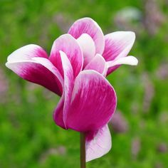 Perfect Pink Cyclamen
