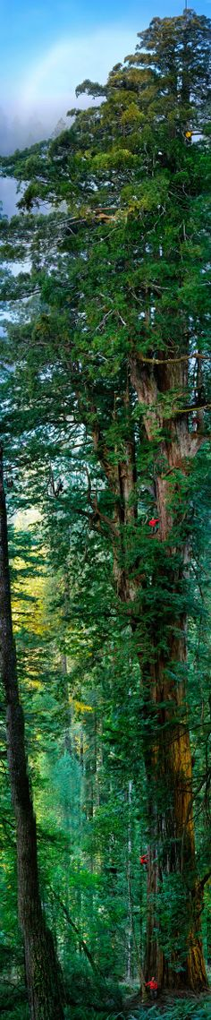 Redwood Forest - The Tallest Trees in The World.