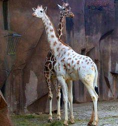 Albinismo giraffe s rare albino animals, animal Amazing Animals, Unique Animals, Cute Baby Animals, Animals Beautiful, Funny Animals, Wild Animals, Exotic Animals, Cutest Animals, Stunningly Beautiful