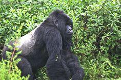 Mountain gorilla silverback Isabukuru in Volcanoes National Park, Rwanda Silverback Gorilla, Chimpanzee, Orangutans, Gorillas In The Mist, Slow Loris, Mountain Gorilla, Baboon, Gentle Giant, Fantasy Creatures