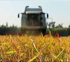 Raccolta del riso (mietitura)