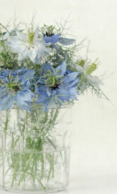 blue & white flowers, love-in-a-mist - Nigella damascena (love-in-a-mist, ragged lady) is an annual garden flowering plant, belonging to the buttercup family Ranunculaceae. It is native to southern Europe.