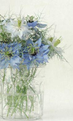 De licht blauwe Nigella. Hij sprak me meteen aan door de ontzettend mooie lichte kleur van de bloem. Maar ondanks de lieve kleur is het ook een wat stoerder bloempje