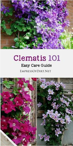 Clematis 101 Easy Care Guide Clematis is one of the most-loved garden vines yet it's not always easy to know when to prune your vines or leave them alone. This will help you determine which type of clematis vine you have and when it's best to trim it ba Outdoor Plants, Outdoor Gardens, Backyard Plants, Small Gardens, Clematis Care, Clematis Trellis, Clematis Plants, Clematis Flower, Clematis For Shade