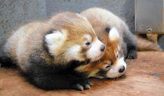 じゃれ合う双子のレッサーパンダの赤ちゃん(1日、茶臼山動物園で)=原啓一郎撮影  長野市篠ノ井有旅の茶臼山動物園で、7月19日に生まれたレッサーパンダの双子の赤ちゃんがすくすくと育っている。2匹ともオスで、父チャオ(7歳)、母ノン(6歳)との間に生まれた。今月下旬から一般公開される予定。