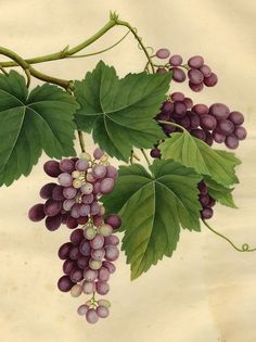 Chinese Trade illustrations, Grapes, 19th century. Watercolor. Arnold Arboretum Archives. Harvard University Herbaria.