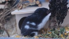me and the black tree. partnerpage: @proper_hamster_care    #hamster #flauschi #hamstercage #hamstergrass #spring #springtime #hamsterhome #cage #speciesappropriate #syrianhamster #teddybearhamster #teddyhamster #animals #love #cute #cuteanimals #weeklyfluff #livenatural #livethelittlethings #natureman #happy #photography #canon #hamsterlove #hamstercare #happyhamsterfoundation #adoreable #nature Hamster Care, Hamster House, Syrian Hamster, Happy Photography, Black Tree, Cage, Cute Animals, Teddy Bear, Spring